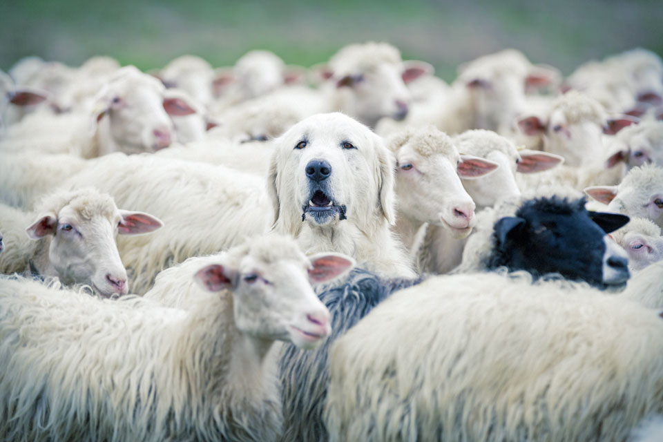 Lone dog with the sheep