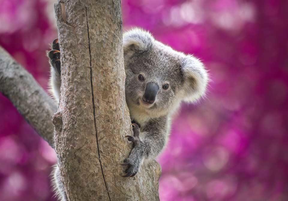 Cuddly Australian