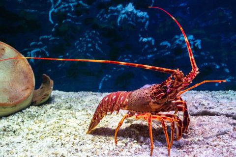 Lobster life